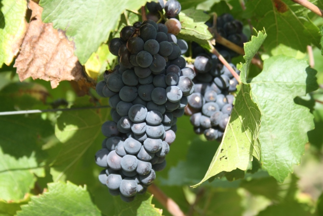 Grapes at Castello di Potentino